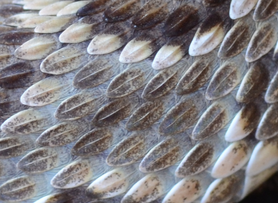 Keeled scales of a Mojave Rattlesnake (Crotalus scutulatus).  Notice the elevated, ridge-like centers of each dorsal scale.