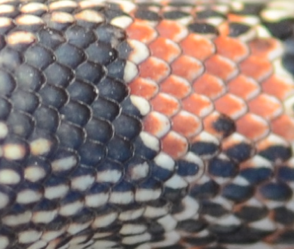 Non-keeled (smooth) scales of a Long-nosed Snake (Rhinocheilus lecontei).  Notice the smooth, even surface of each dorsal scale (no central ridge).