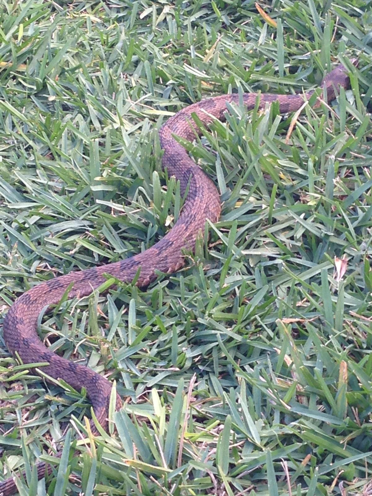 Photo of a snake texted to me by a friend of my mother's, found in their yard.