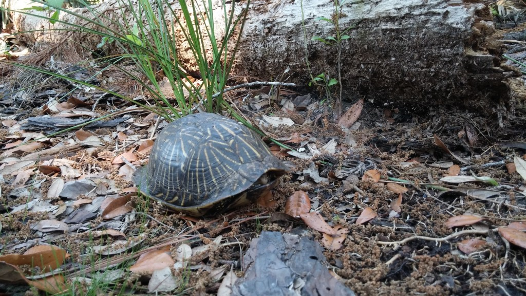 A Common Box Turtle (Terrapene carolina) sits closed in its hinged shell when we startled it walking along a path.