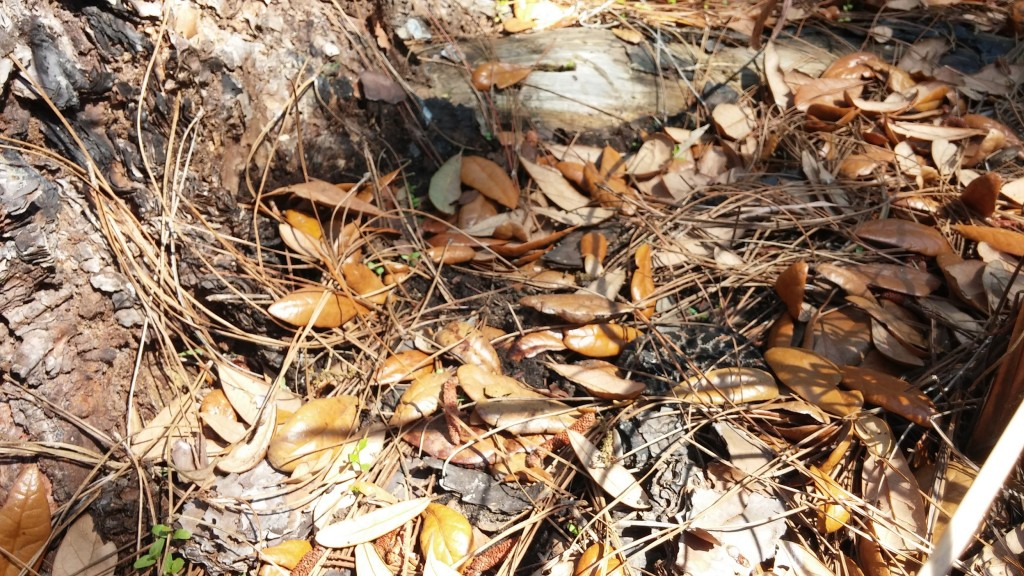 Pygmy Rattlesnake (Sistrurus miliarius) tucked under some leaves.  It's amazing how difficult they can be to find.