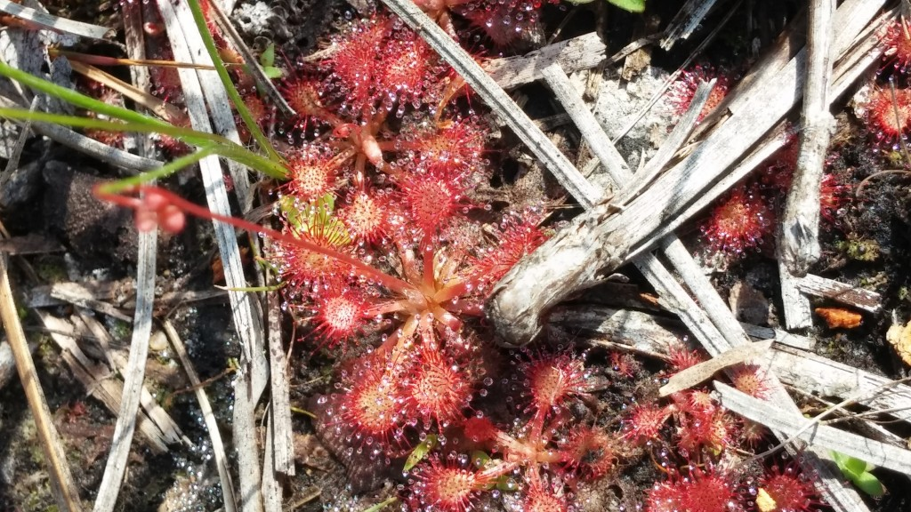 "One of the sundew species native to Florida - they are carnivorous plants (similar to the more common venus fly traps) which catch and digest insects in the sticky ""dew"" droplets that their leaves exude."