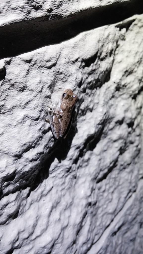 A Pinewoods Treefrog (Hyla femoralis).