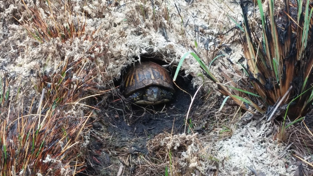 An injured Common Box Turtle (Terrapene carolina) taking refuge in the only moist area left after a burn.  The turtle appeared to have been burned along its back and possibly blinded.