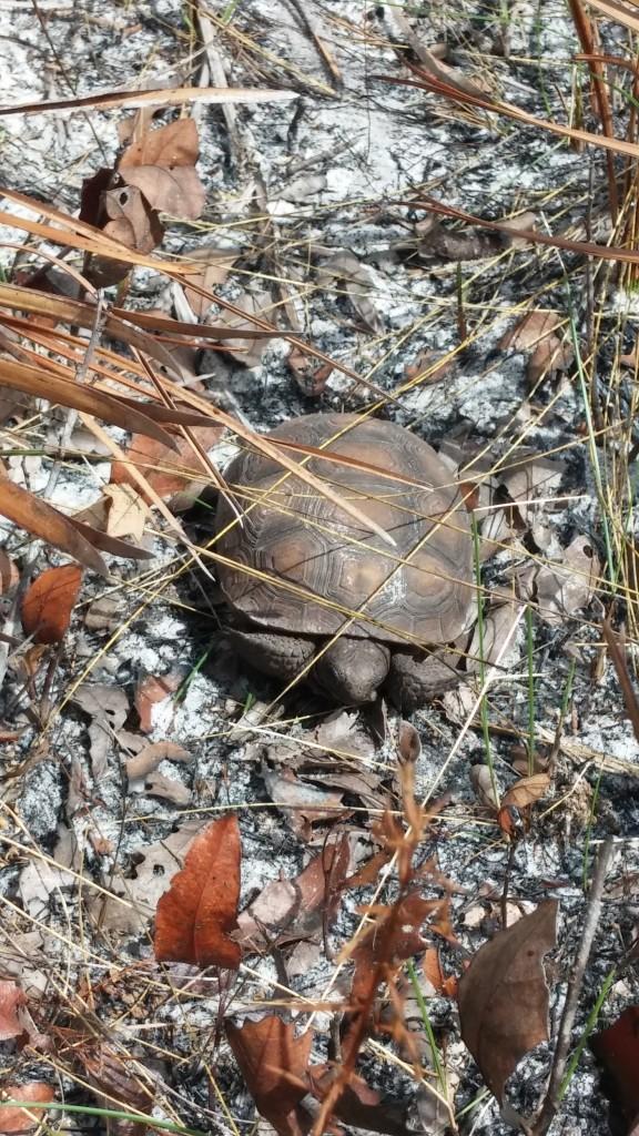 A live Gopher Tortoise (Gopherus polyphemus).