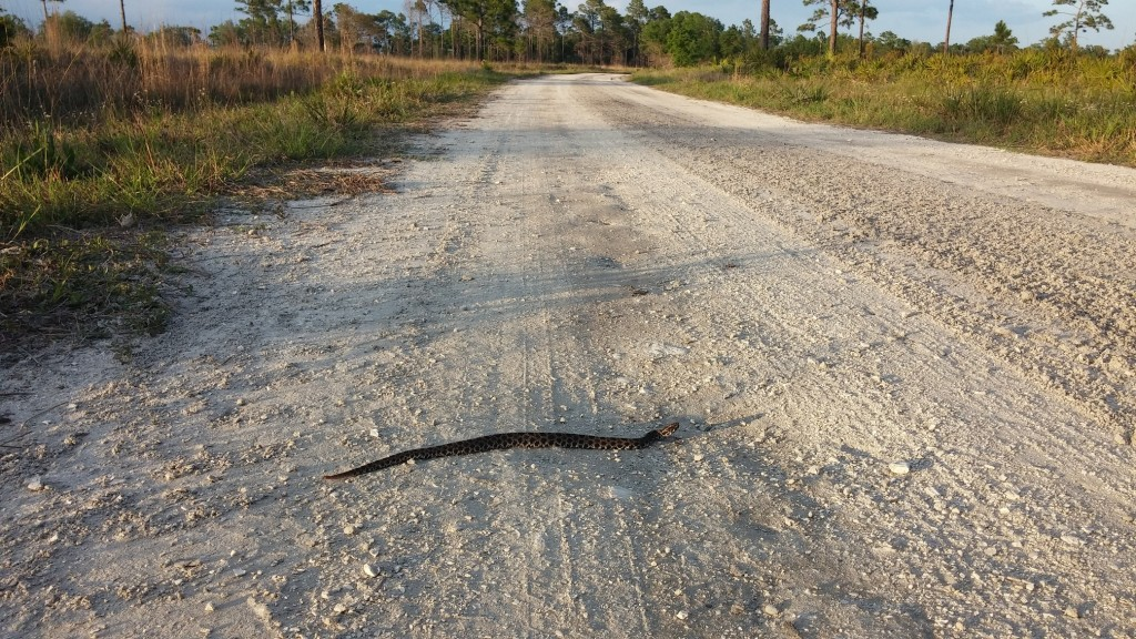 Another Pygmy Rattlsnake (Sistrurus miliarius) crossing the street.