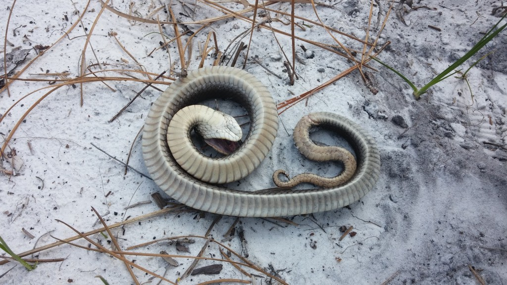 An Eastern Hognose Snake (Heterodon platirhinos) playing dead when we walked up on it.